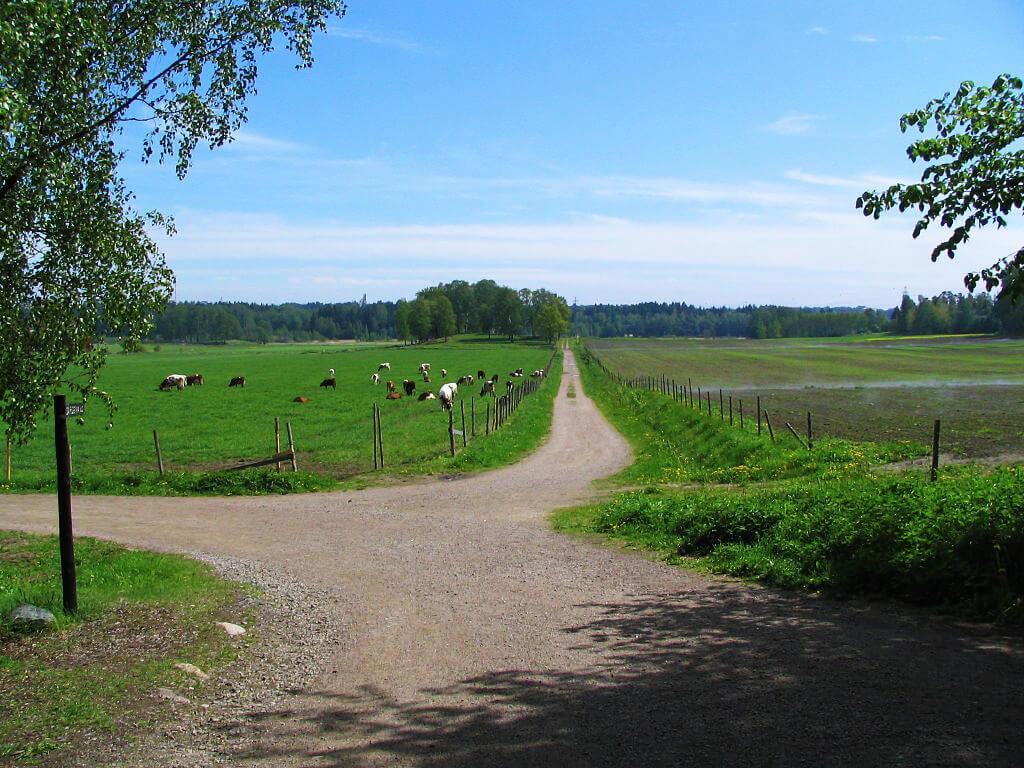 Lehmiä Viikon pelloilla